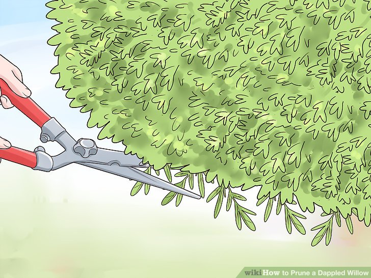 Bush Willow Dappled Pruning