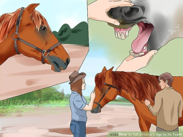 How to Tell a Horse s Age by Its Teeth  with Pictures    wikiHow Image titled Tell a Horse s Age by Its Teeth Step 10