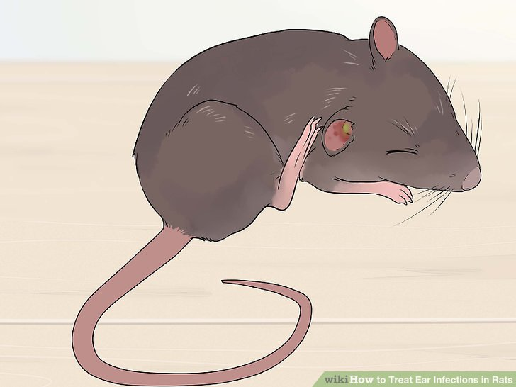 Treat Ear Infections in Rats Step 5.jpg