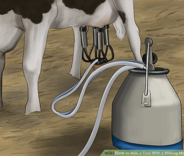 Image Titled Milk A Cow With A Milking Machine Step 11