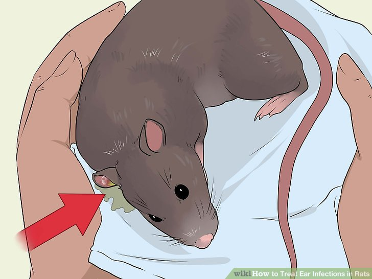 Treat Ear Infections in Rats Step 4.jpg
