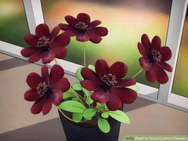 3 Ways to Grow Cosmos Flowers   wikiHow Image titled Grow Cosmos Flowers Step 11