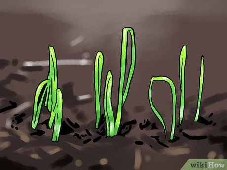 Как вырастить зеленый лук - wikiHow