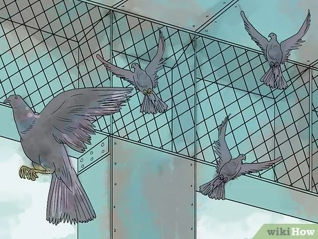 3 Manieres De Pieger Des Pigeons Wikihow