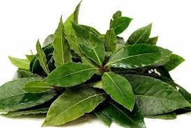 5. Pengobatan Batuk Daun salam yang efektif memerangi gejala pilek, flu dan infeksi. Dalam kasus gangguan pernafasan, rebus air dan tambahkan 2 sampai 3 lembar daun salam. Biarkan menguap selama 10 menit. Rendam kain dalam air ini dan letakkan di dada untuk meringankan flu, pilek dan batuk. 6. Pengusir Serangga Daun salam adalah obat nyamuk alami yang dengan kandungan asam laurat. Hidangan dari daun salam akan mengusir serangga. Minyak dari ekstrak daun salam yang dioleskan, akan mengurangi sengatan dan gigitan serangga. 7. Pengobatan Gangguan Ginjal Daun salam akan membantu mengobati infeksi ginjal, bahkan batu ginjal. Resep pengobatan ini hanya dengan mendidihkan 5 gram daun salam dan 200 ml air sampai 50 ml air. Saring dan minum ramuan ini dua kali sehari, untuk menghentikan pembentukan batu ginjal. 8. Pengobatan asam urat Kandungan zat purin pada tubuh dapat bertumpuk dan menyebabkan gejala asma urat. Kita dapat mengambil manfaat daun salam untuk mengurangi asam urat. Caranya, ambil sekitar 10 lembar daun salam dan kemudian cuci bersih. Rebus dengan 10 gelas air, sampai sisa air tinggal 5 gelas. Minum rebusan ini dua kali sehari rebuasn ini.