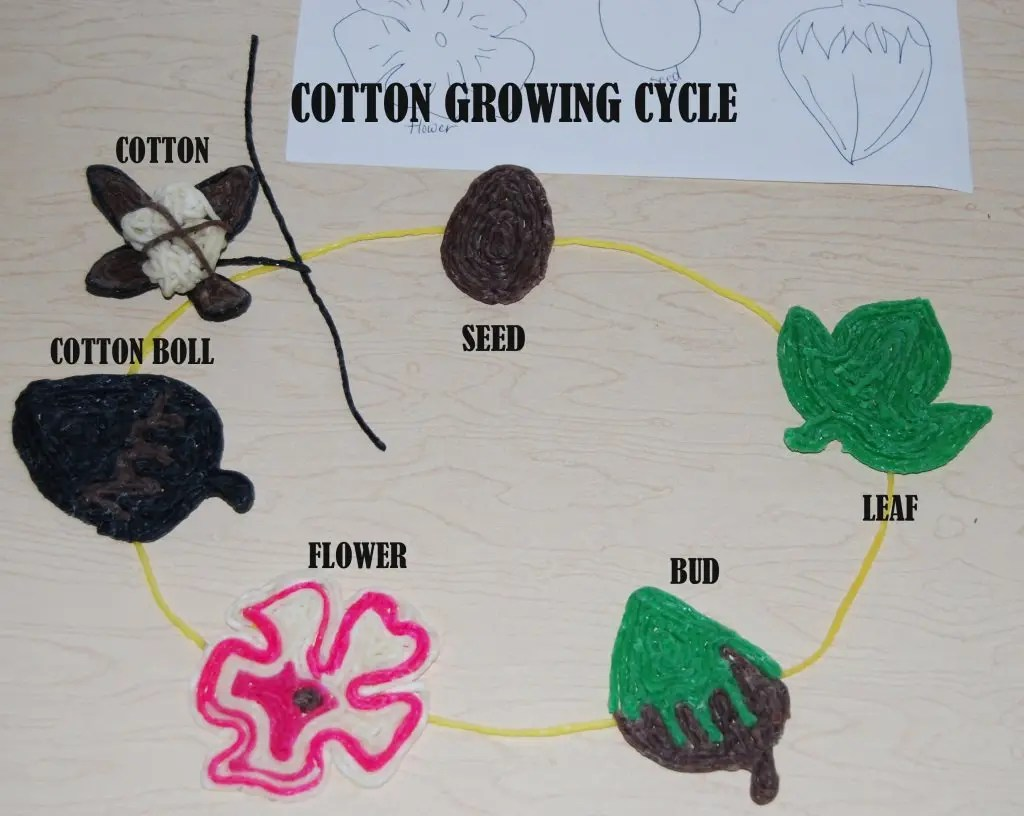From Farm To Clothing The Growing Cycle Of A Cotton Plant