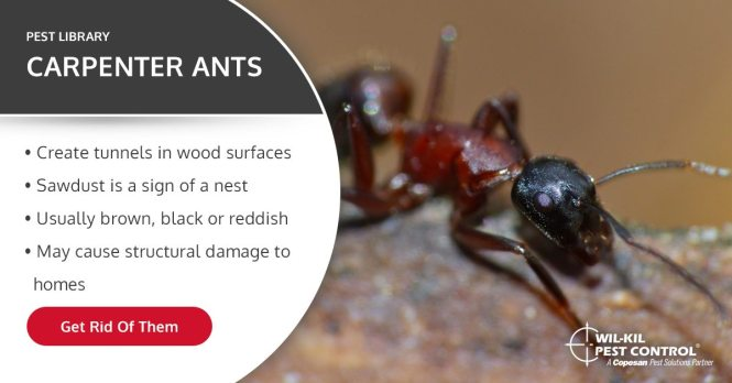 Get Rid Of Carpenter Ants
