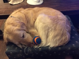 Penny is curled Up on my footstool with an orange and blue Chuck-It ball between her nose and back leg.