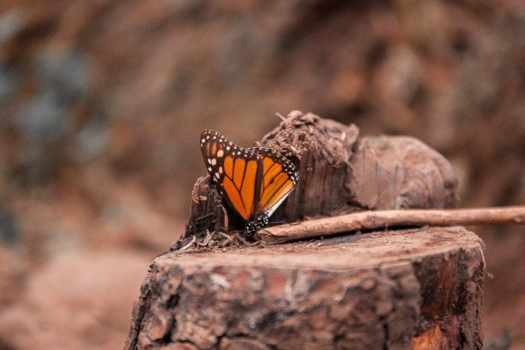 Mexiko Schmetterling Nahaufnahme