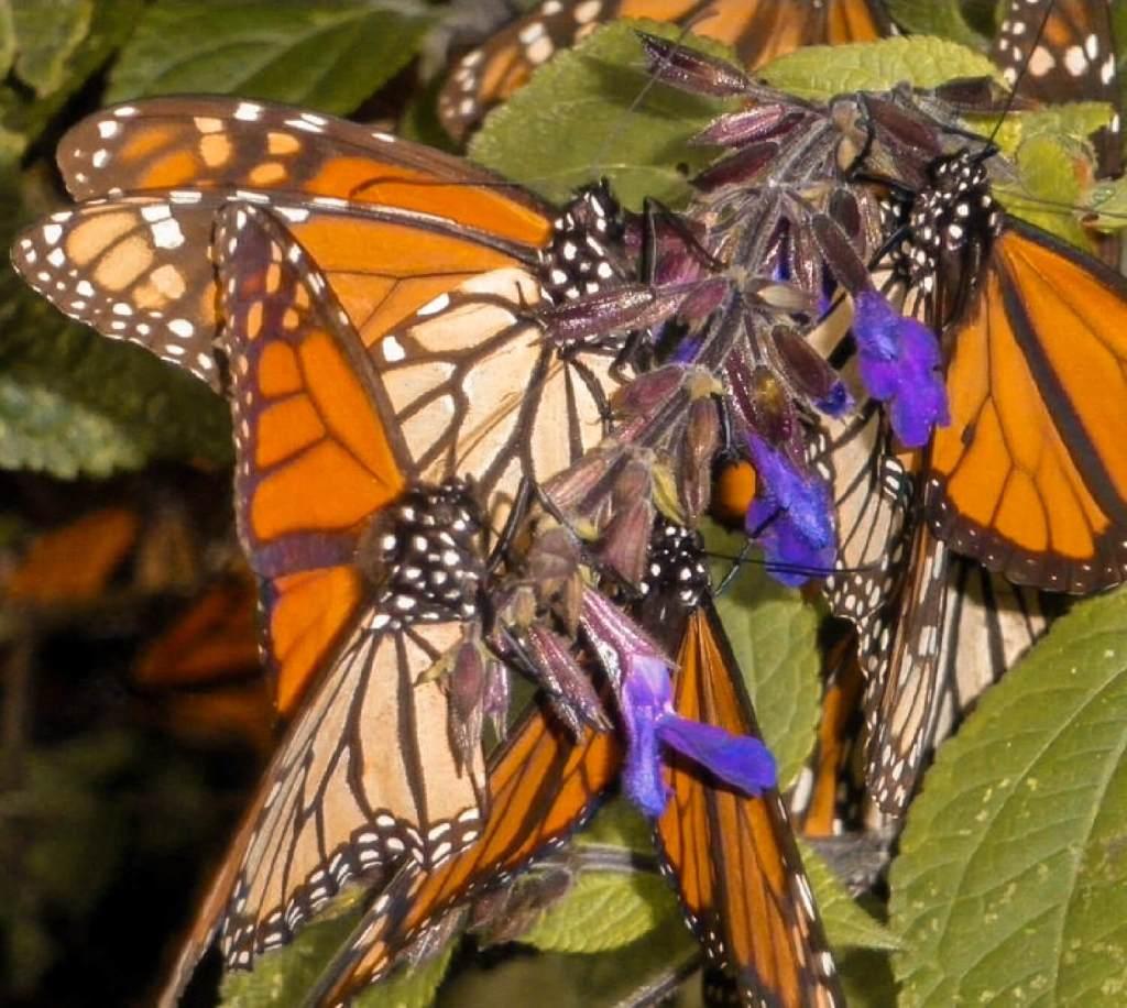 Monarchfalter an Blüten