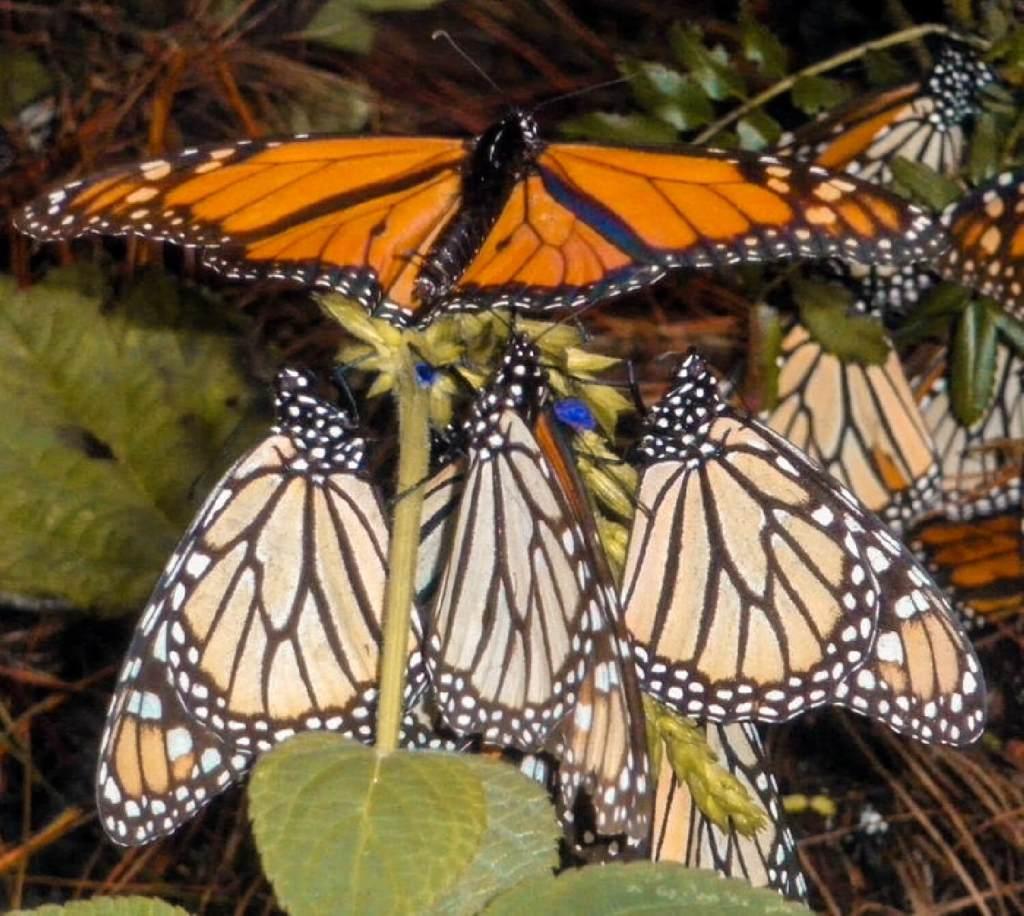 Monarchfalter auf Blatt