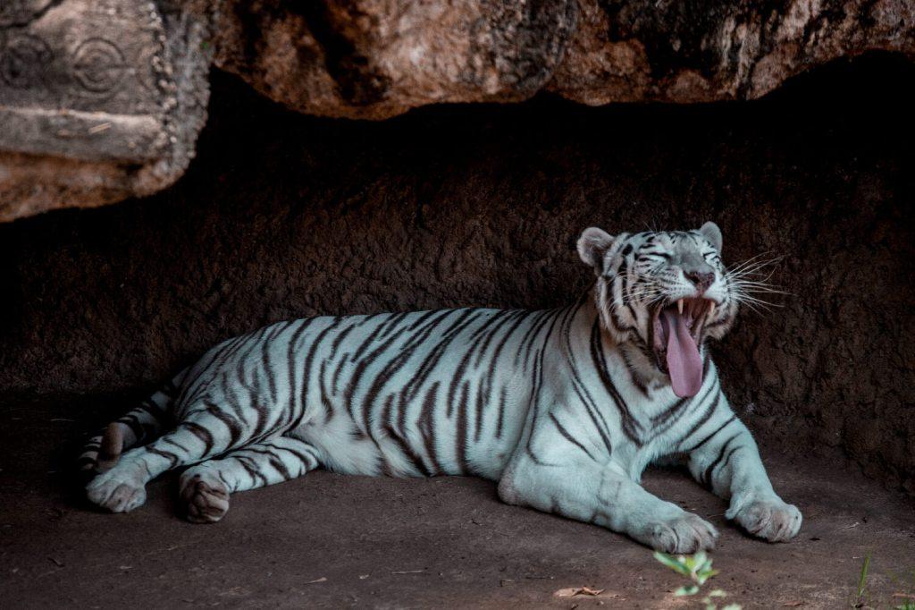 La Aurora Zoo in Guatemala City weißer Tiger