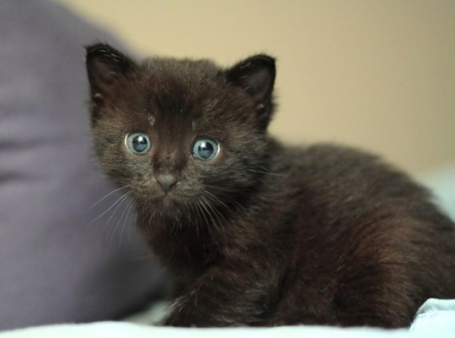 BLACK PANTHER PET FOR SALE