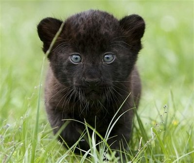 TRAINED BLACK PANTHER PET FOR SALE AFFORDABLY ONLINE