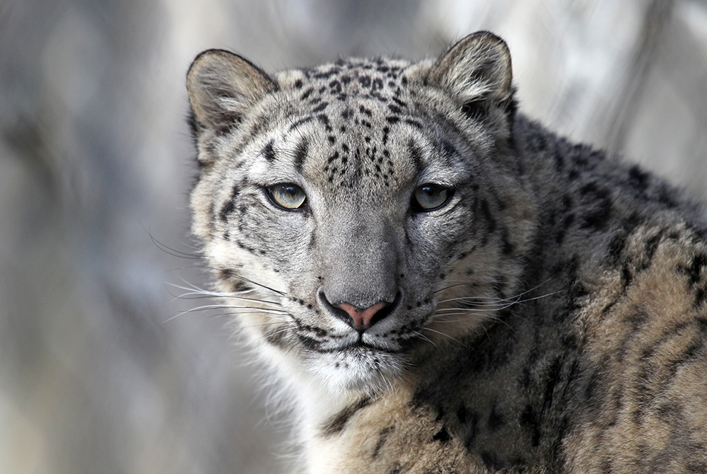 BUY A SNOW LEOPARD AT AFFORDABLE PRICES