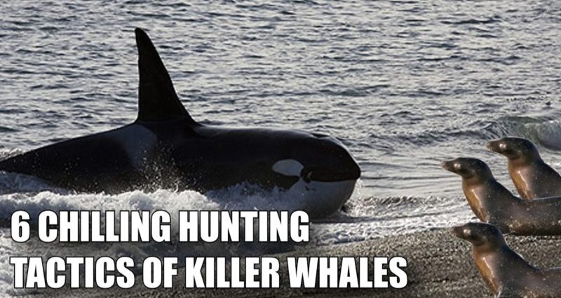 HUNTING TACTICS OF ORCA KILLER WHALES