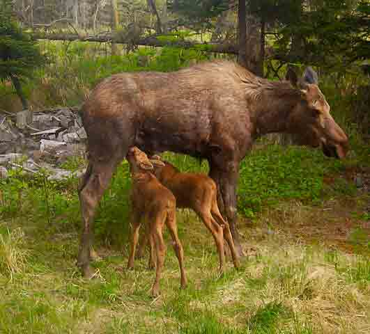 Moose cow with calves