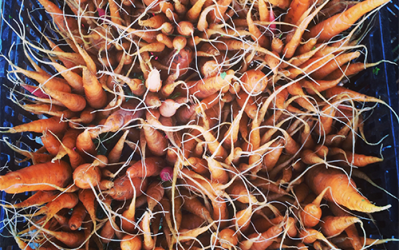 Why Carrots are a Great Raw Food To Ferment