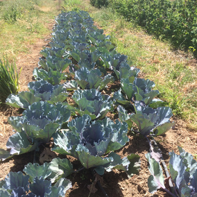 MANO FARM_CABBAGE
