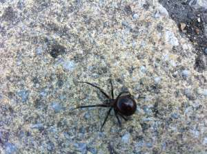 False Widow spider London