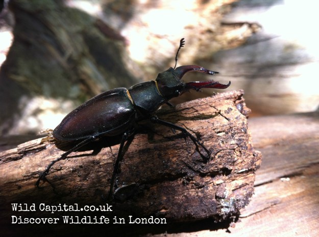 Stag Beetle with txt