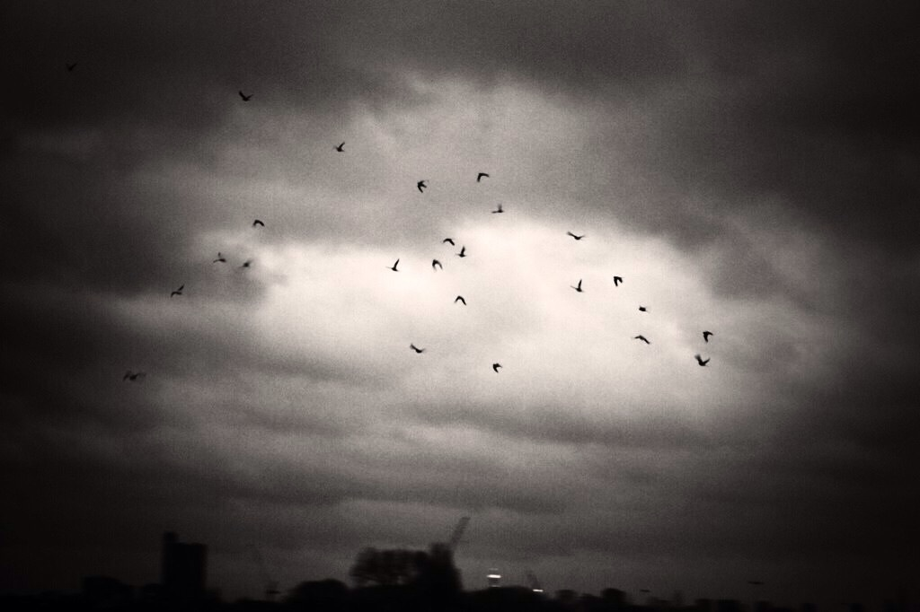 Parakeets flying on to roost