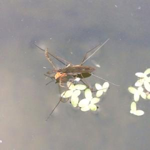 Pond Skater and mayfly