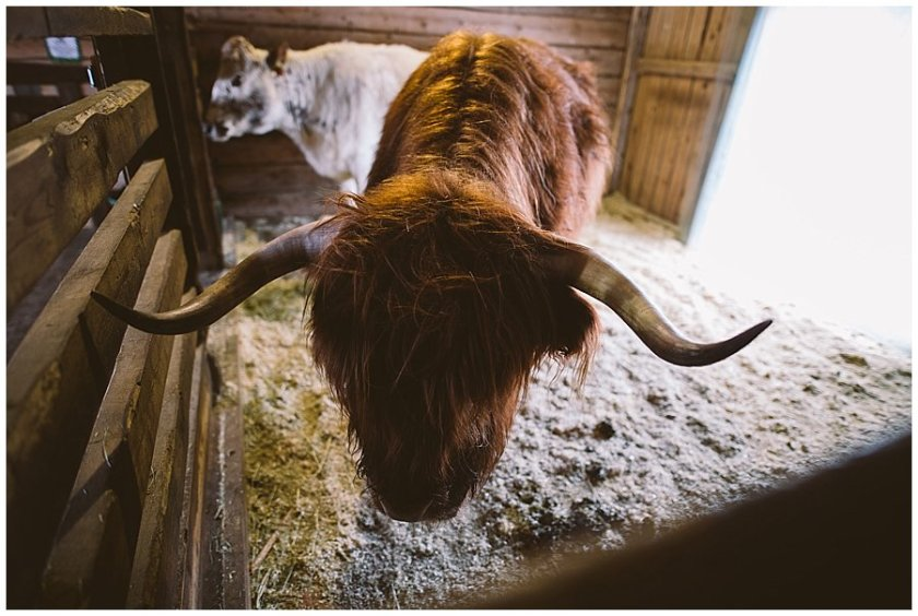 A highland cow stands in the stable at Santa's Pet Farm in Levi Finland by Wild Connections Photography
