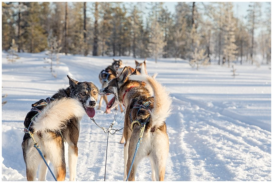 Wingrens Husky Safari Lapland dogs are waiting to start pulling the sled in Levi Finland by Wild Connections Photography
