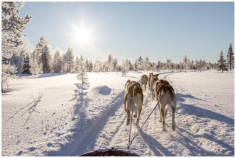 Wingrens Husky Safari Lapland dogs start to speed up on their homeward stretch