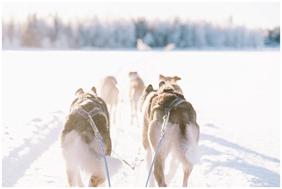 Wingrens Husky Safari Lapland close up of the rear two sled dogs as they run towards a forest in Levi Finland by Wild Connections Photography