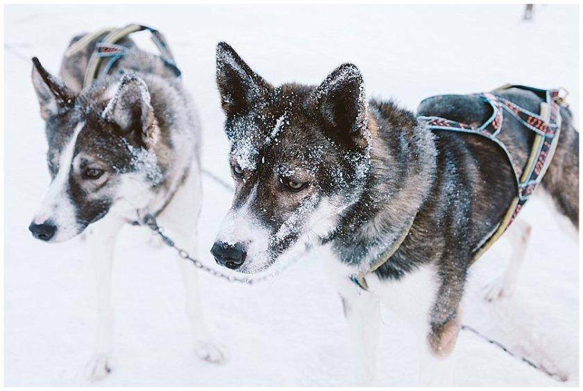 Wingrens Husky Safari Lapland the sled dogs wait for their next outing