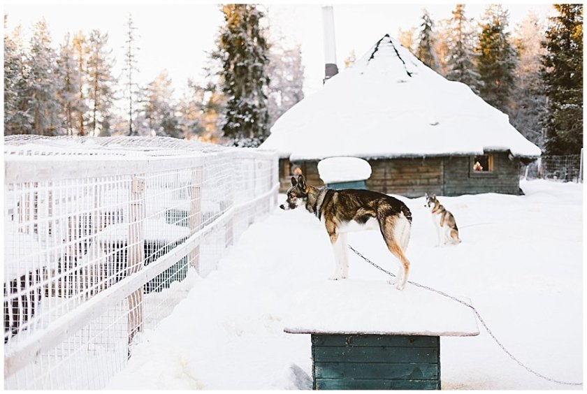 Wingrens husky farm dogs wait in their enclosures for their turn to run