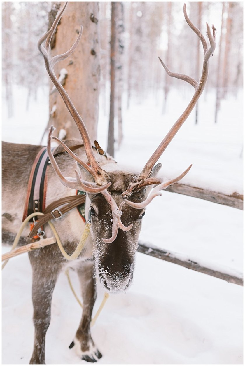 Reindeer Safari Levi Lapland reindeer with large antlers looks towards the camera in Levi Finland by Wild Connections Photography