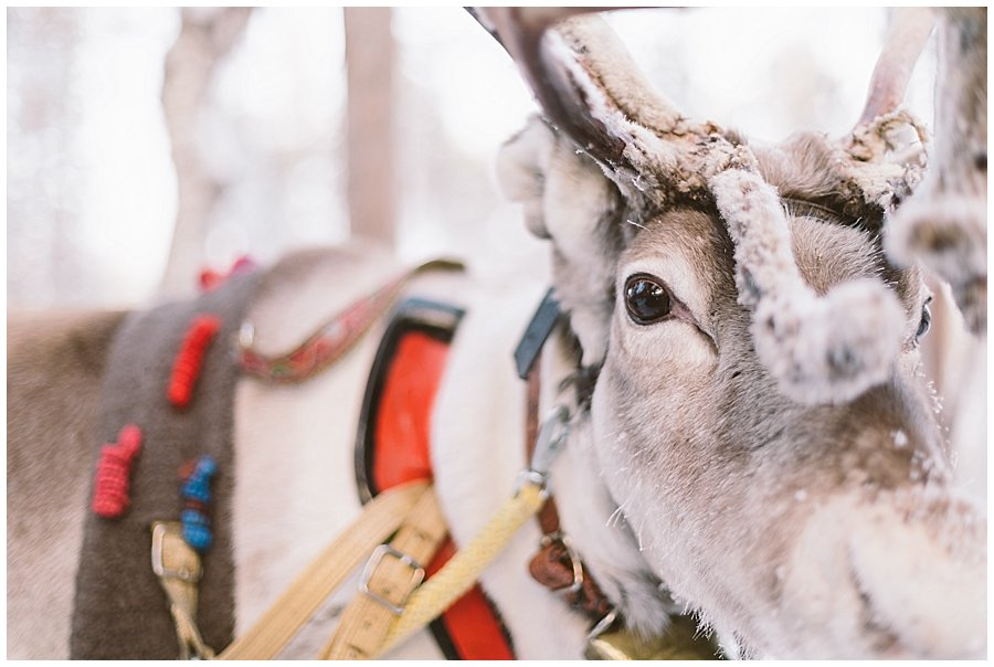 Reindeer Safari Levi Lapland close up picture of a reindeer with a harness by wild connections photography