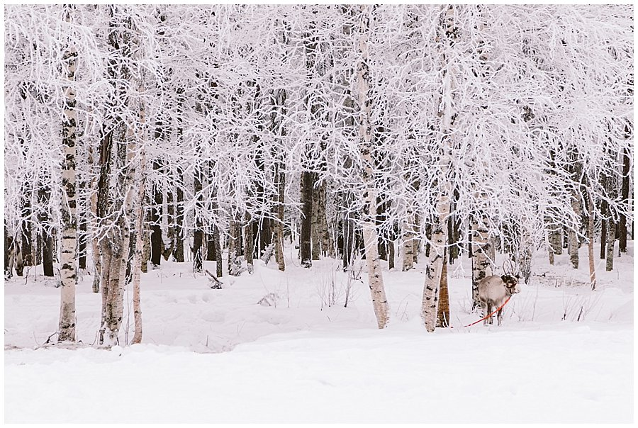 Reindeers graze in the forest around the Reindeer Farm Levin Sammuntupa in Levi Finland by Wild Connections Photography