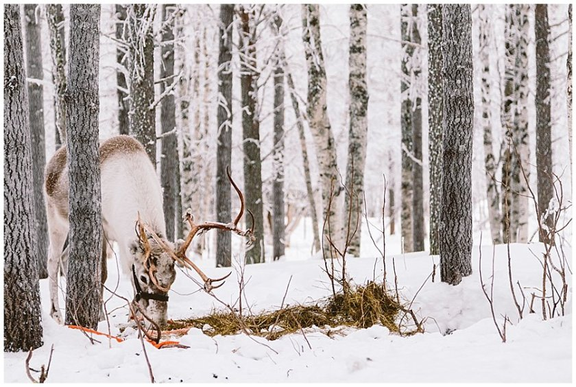 A reindeer grazes on hay in the forest at Reindeer Farm Levin Sammuntupa Levi