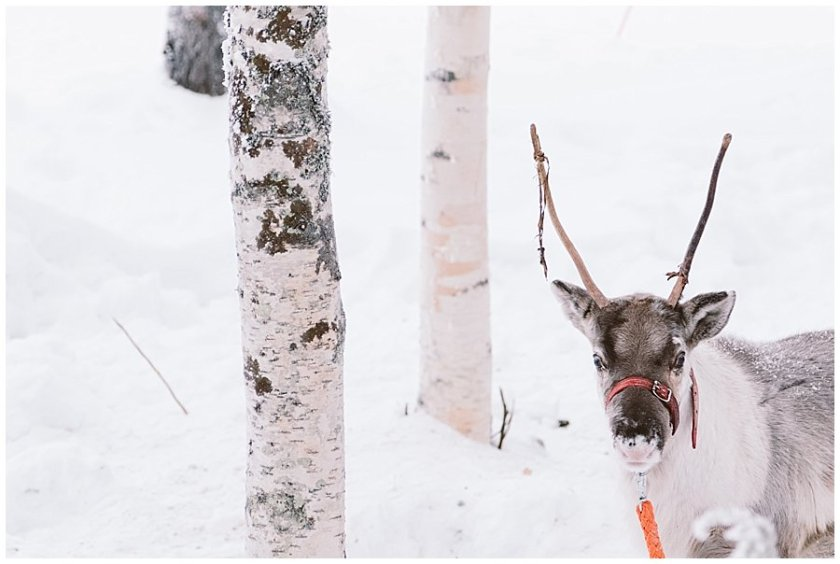A young reindeer calf at Reindeer Farm Levin Sammuntupa in Levi Finland by Wild Connections Photography