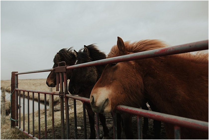 Icelandic horses peering through a metal gate