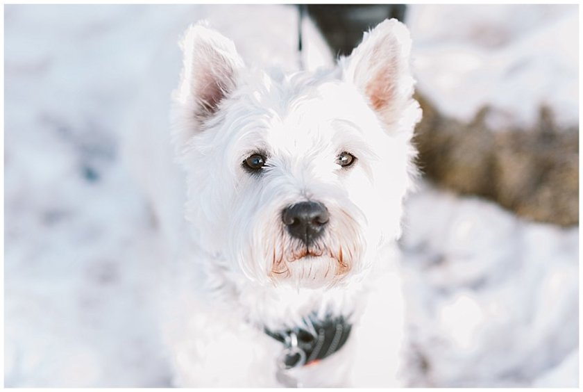 West highland terrier Ring Bearer Harald looks at the camera