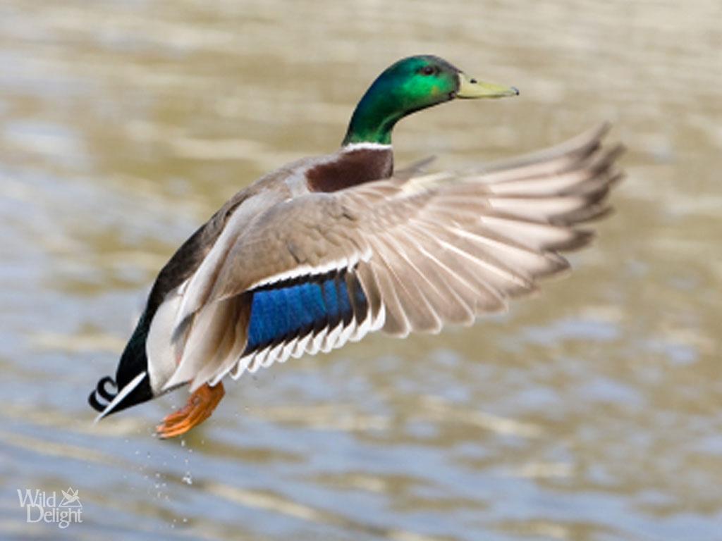 about mallard ducks - thinglink