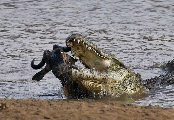 alligator attacks zebra