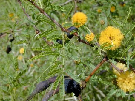 Acacia seedpods and bright yellow flowers