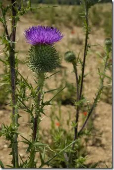 Thistle plant growing in dry conditions