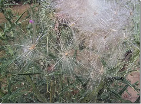 Thistle plant seeds contain a fluffy structure that allows them to drift in the wind