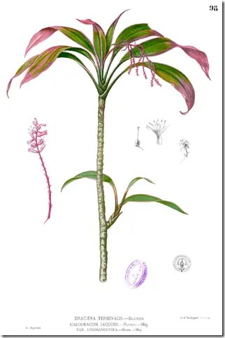 Color drawing of Ti plant illustrating the plant and flowers