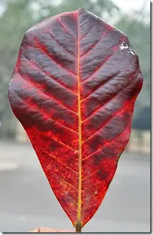 Top side of mature Tropical Almond tree leaf