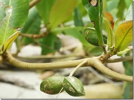 Tropical Almond tree nuts hanging from the branch