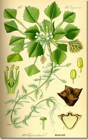Color drawing of Water Caltrop illustrating the various plant components