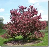 Wild Apple tree with pink flowers